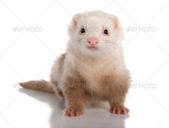 ferret - Mustela putorius furo (7 years old) - Stock Photo - Images