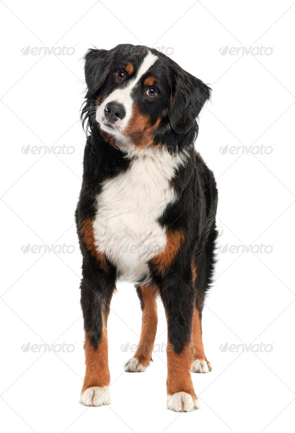 Bernese mountain dog (14 months old) - Stock Photo - Images