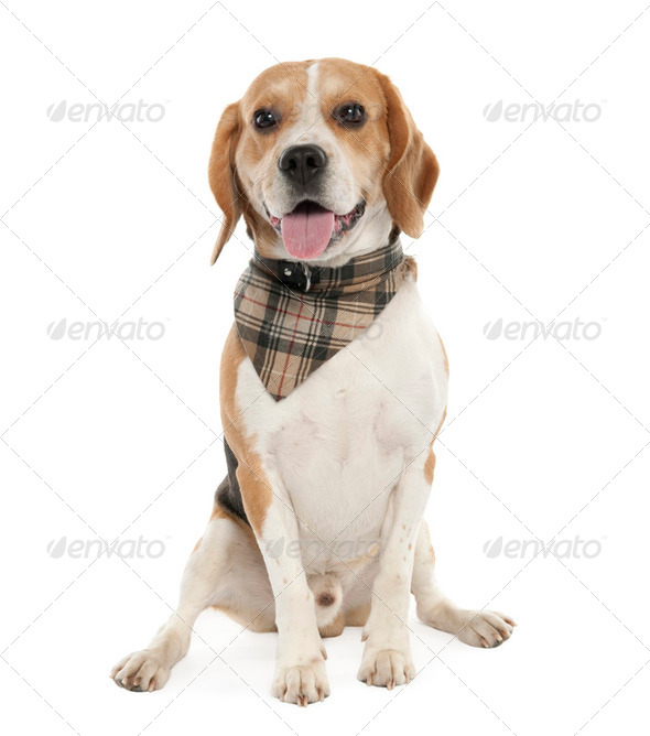 Beagle (20 months old) - Stock Photo - Images
