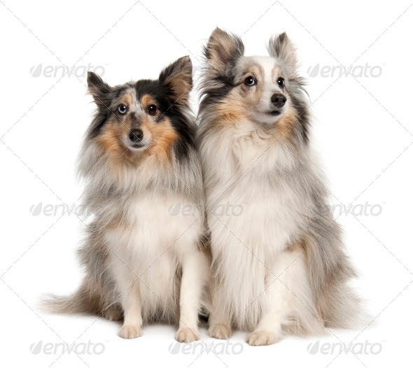 Couple of two shelties - Stock Photo - Images