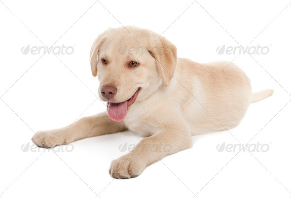 Labrador puppy (4 months) - Stock Photo - Images