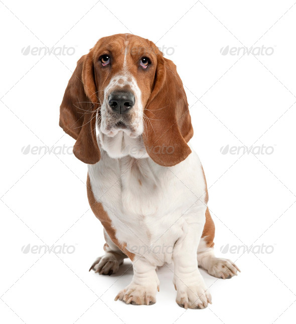 Basset Hound (1 year old)- hush puppy - Stock Photo - Images