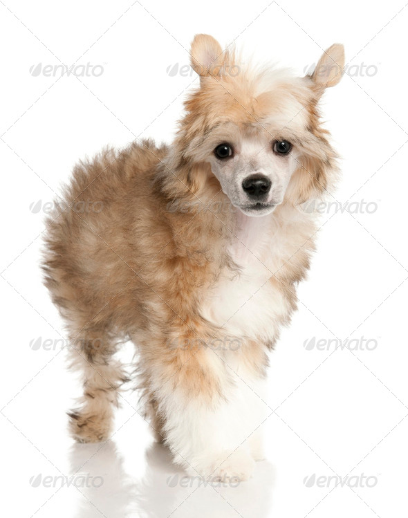 Chinese Crested Dog - Powderpuff puppy  (3 months old) - Stock Photo - Images