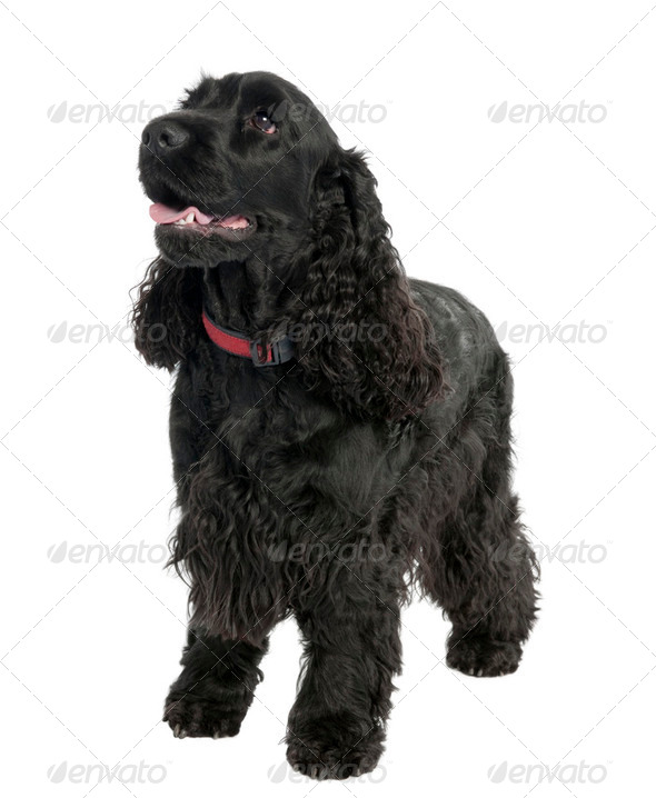 English Cocker Spaniel (2 years old) - Stock Photo - Images