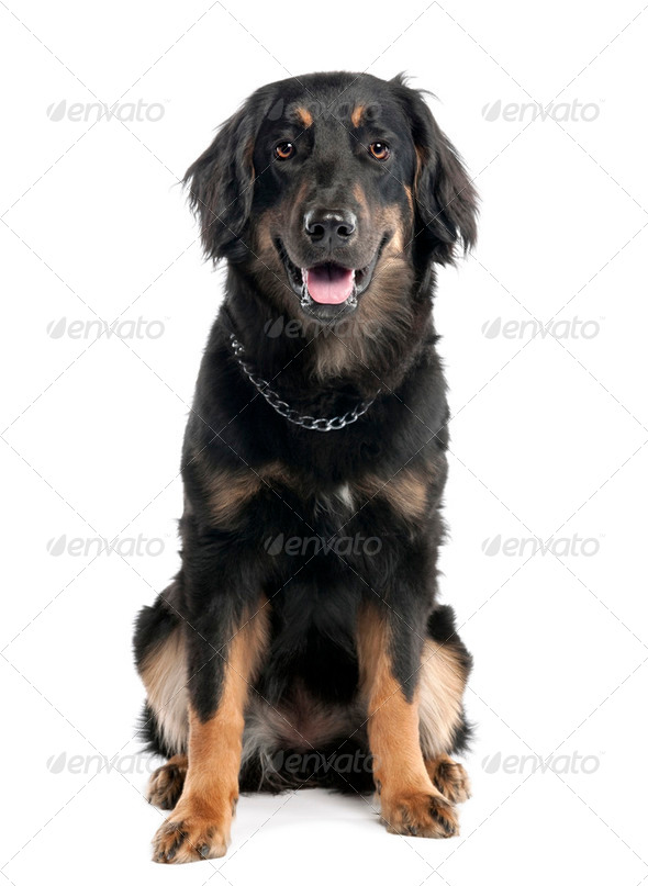 Hovawart dog (7 months) - Stock Photo - Images