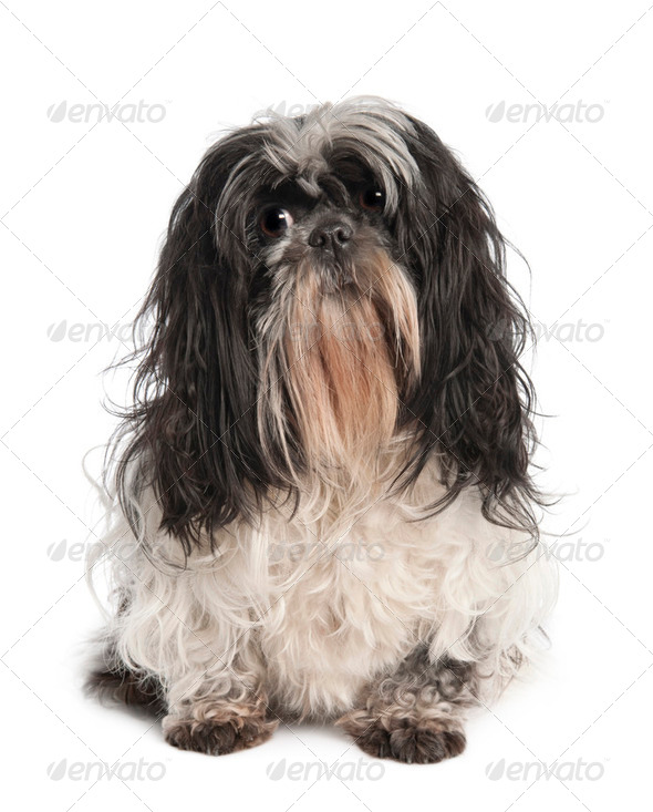 Shih Tzu (4 years old) - Stock Photo - Images
