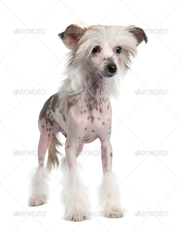 Chinese Crested Dog - Hairless (3 years old) - Stock Photo - Images