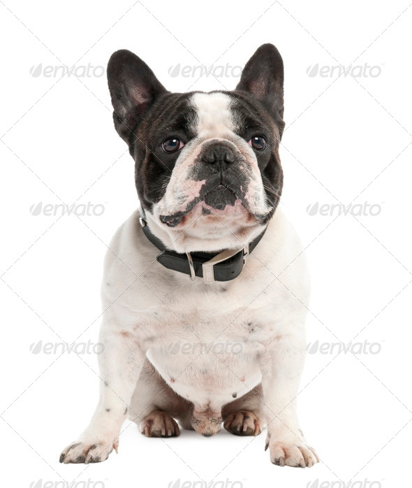 French Bulldog (2 years old) - Stock Photo - Images