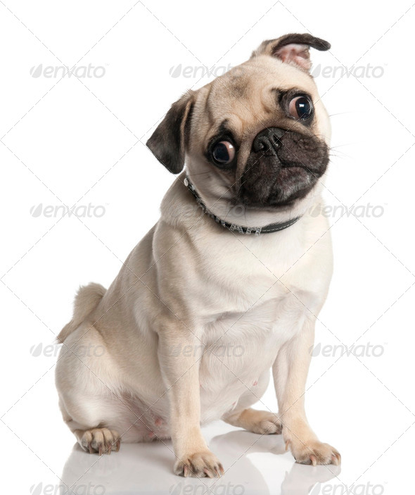 pug (18 months old) - Stock Photo - Images