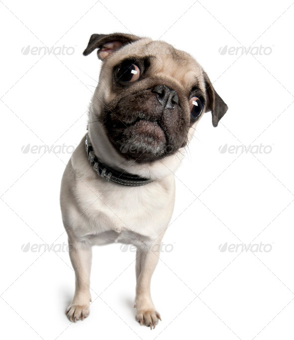 Portrait of pug, 18 months old, standing in front of white background, studio shot - Stock Photo - Images