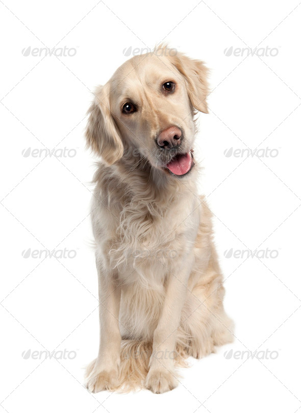 Golden Retriever (5 years old) - Stock Photo - Images