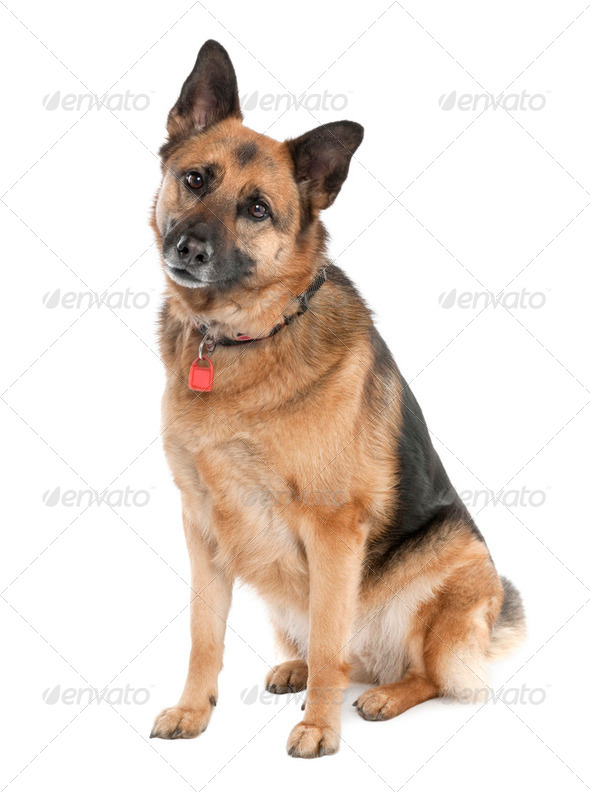 german shepherd (5 years old) / alsatian, police dog - Stock Photo - Images