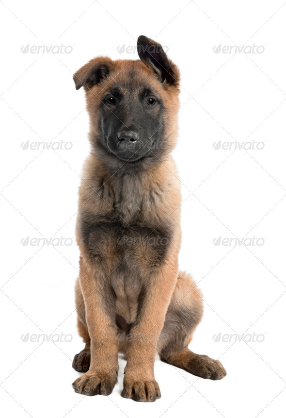 Puppy Belgian Tervuren (3 months) - Stock Photo - Images