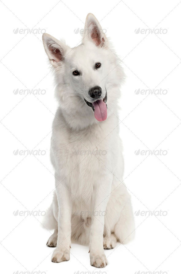 White Shepherd Dog (9 months old) - Stock Photo - Images