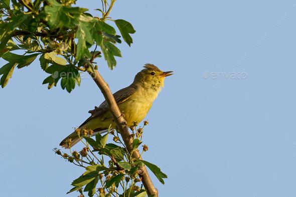 Iicterine warbler (Hippolais icterina) - Stock Photo - Images