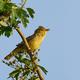 Iicterine warbler (Hippolais icterina) - PhotoDune Item for Sale