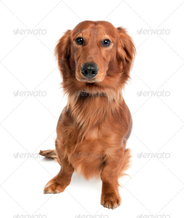 Dachshund (15 months old) - Stock Photo - Images