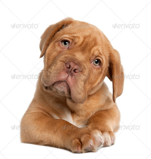 Dogue de Bordeaux puppy, 10 weeks old, lying in front of white background - Stock Photo - Images