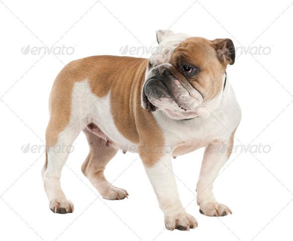 english Bulldog (6 years old) - Stock Photo - Images