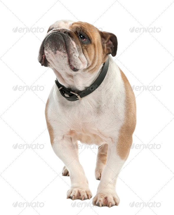 english Bulldog (6 years old) - Stock Photo - Images