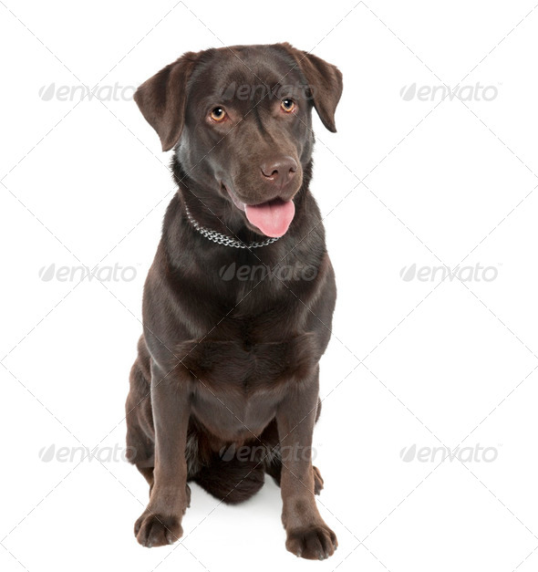 Labrador - Stock Photo - Images