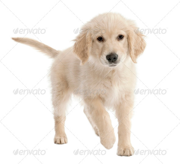 Golden Retriever puppy (4 mmonths old) - Stock Photo - Images