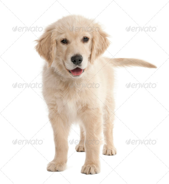 puppy Labrador (4 months old) - Stock Photo - Images