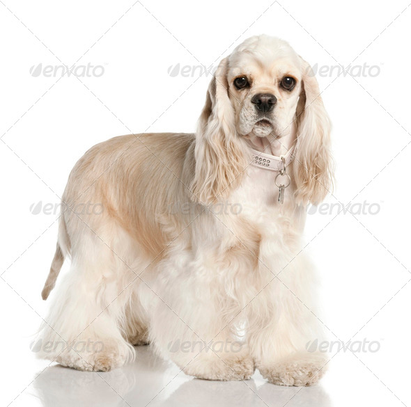 Amerivan Cocker Spaniel (1 year old) - Stock Photo - Images