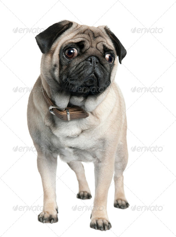pug (2 years old) - Stock Photo - Images