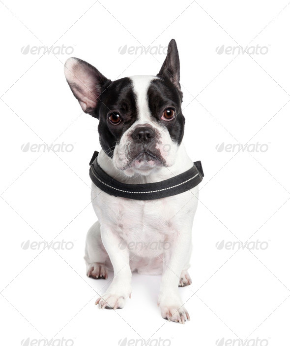 Portrait of French bulldog sitting in front of white background, studio shot - Stock Photo - Images