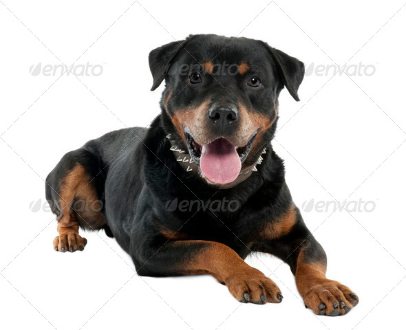 rottweiler (12 months) - Stock Photo - Images