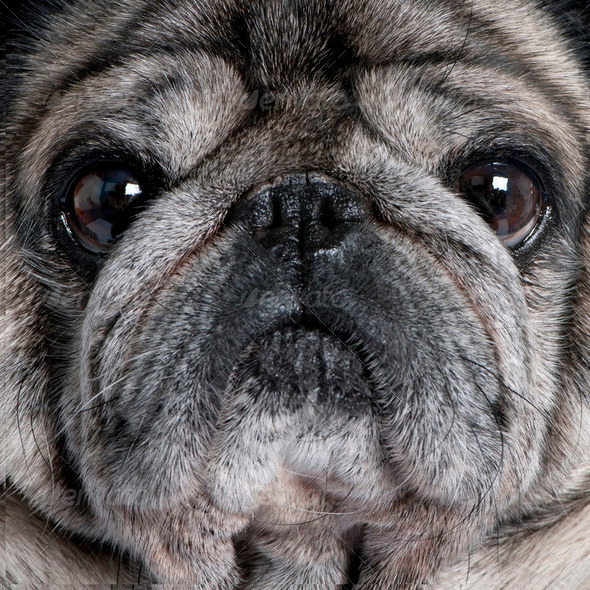 Close-up on a pug (8 years) - Stock Photo - Images