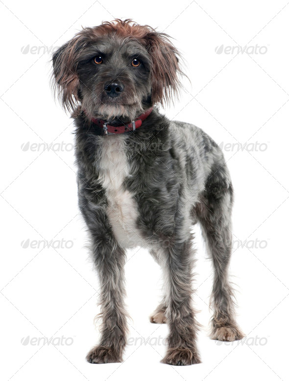 griffon (3 years old) - Stock Photo - Images