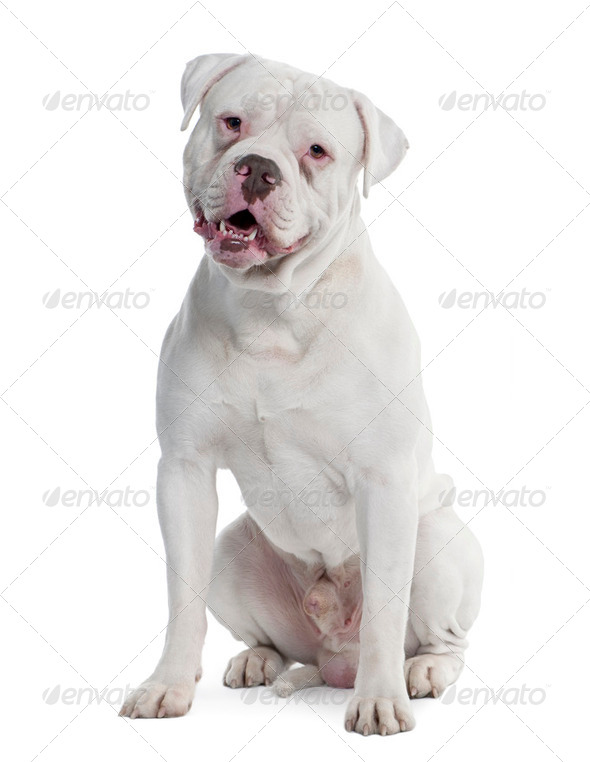 old english Bulldog (2 years old) - Stock Photo - Images