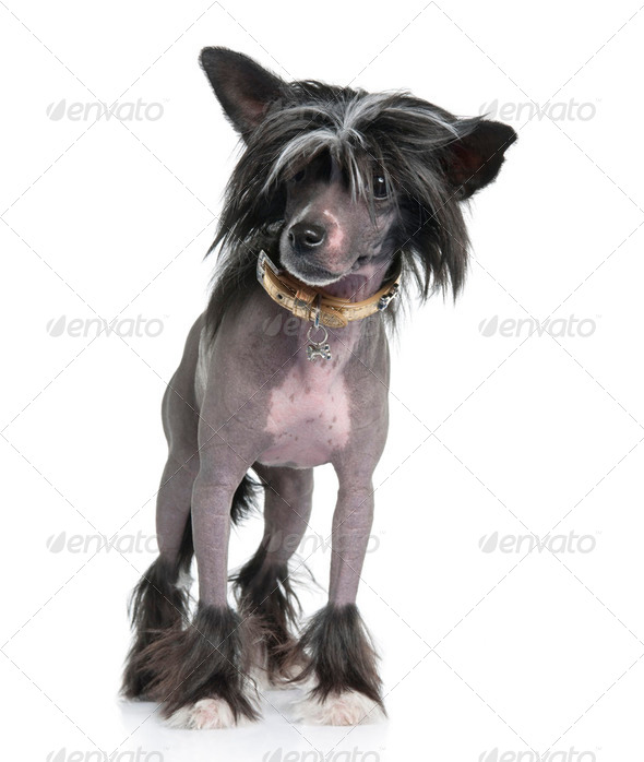 Chinese Crested Dog - Hairless (16 months) - Stock Photo - Images