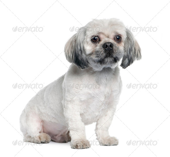 Lhasa Apso (18 months) - Stock Photo - Images