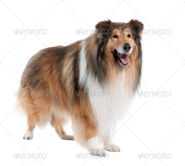 Collie (4 years old) - Stock Photo - Images