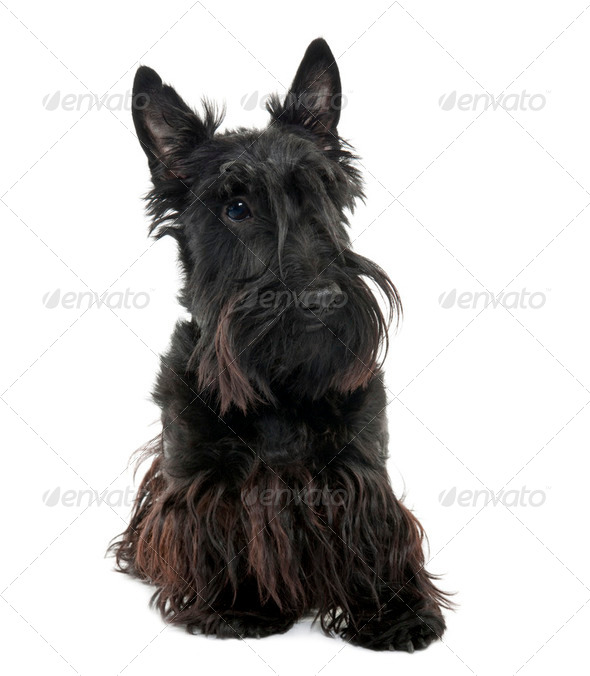 Scottish Terrier (16 months old) - Stock Photo - Images