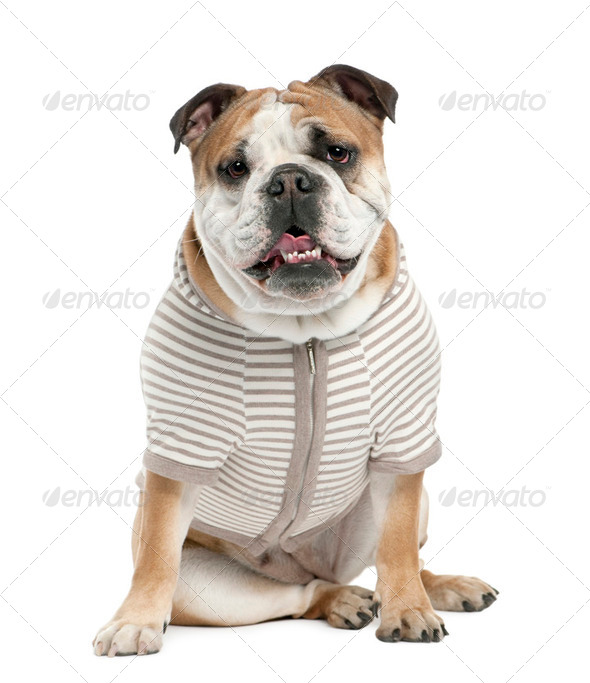 english Bulldog (15 mmonths old) - Stock Photo - Images