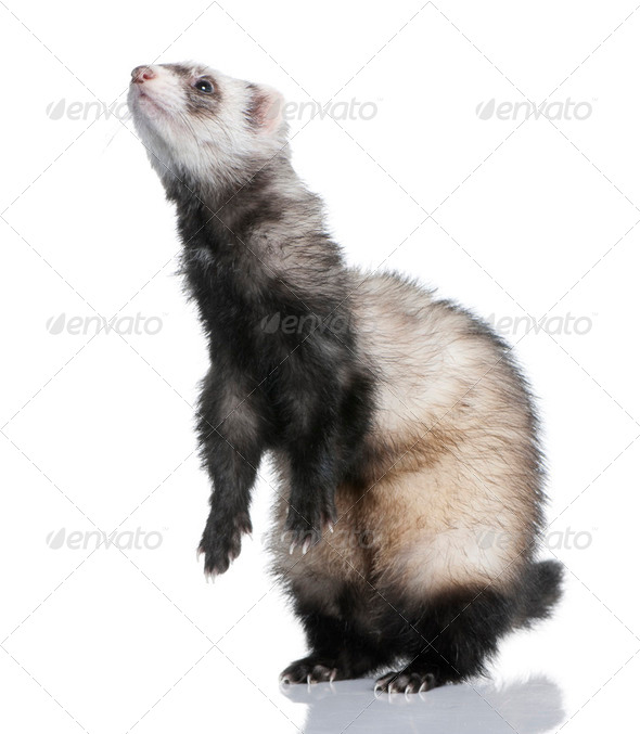 ferret - Mustela putorius furo (1 year old) - Stock Photo - Images