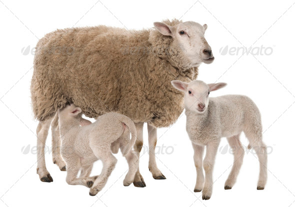 a Ewe with her two lambs, one is suckling - Stock Photo - Images