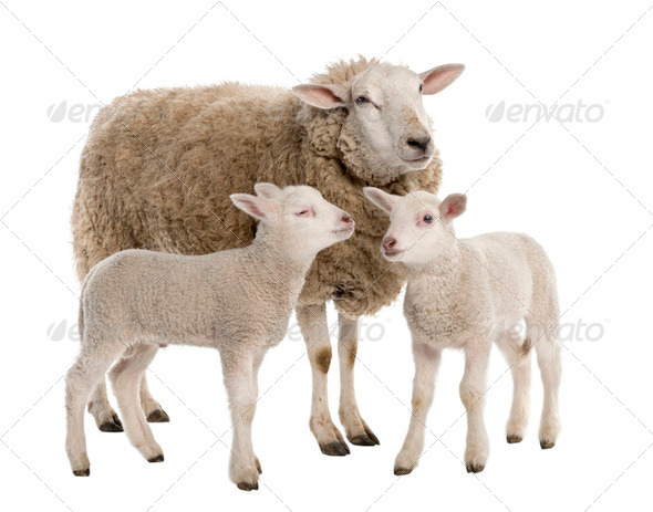 a Ewe with her two lambs - Stock Photo - Images