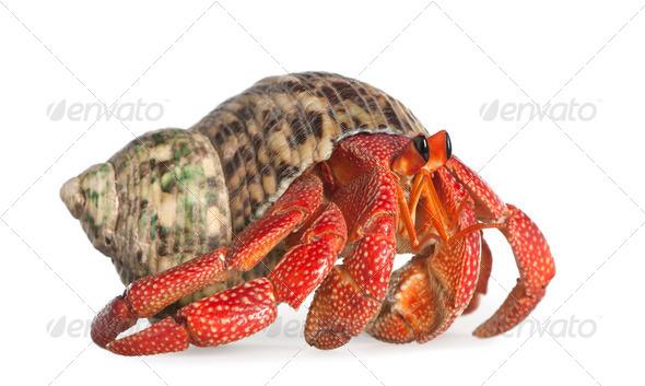 hermit crab - Coenobita perlatus - Stock Photo - Images