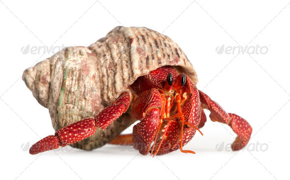 hermit crab - Coenobita perlatus - Stock Photo - Images