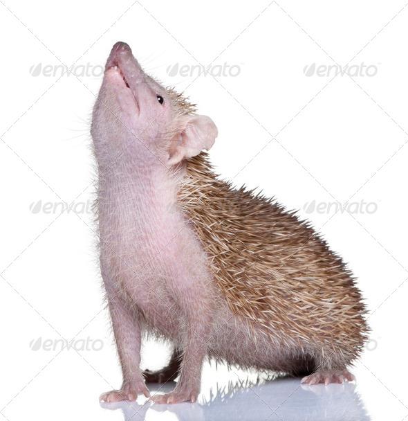 Lesser Hedgehog Tenrec - Echinops telfairi - Stock Photo - Images