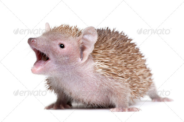 Portrait of Lesser Hedgehog Tenrec with mouth open, Echinops telfairi, in front of white background - Stock Photo - Images
