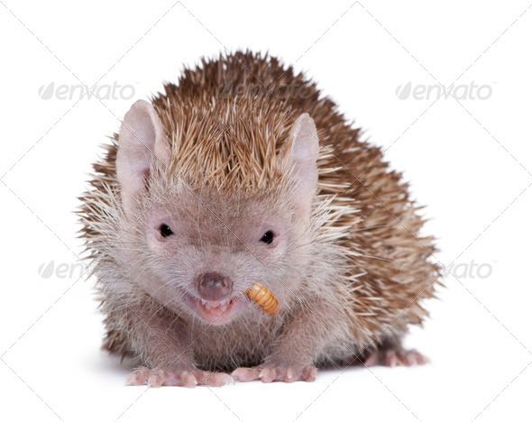 Portrait of Lesser Hedgehog Tenrec, Echinops telfairi, in front of white background - Stock Photo - Images