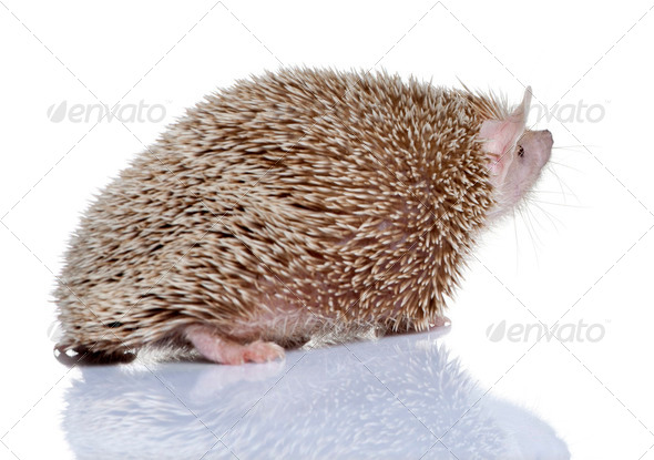 Side view of Lesser Hedgehog Tenrec, Echinops telfairi, in front of white background - Stock Photo - Images