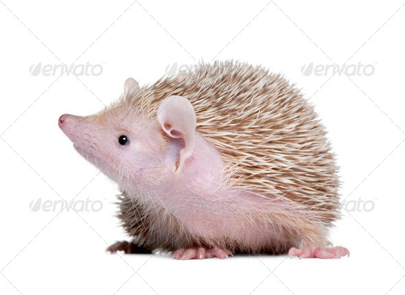 Lesser Hedgehog Tenrec - Echinops telfairi - Stock Photo - Images