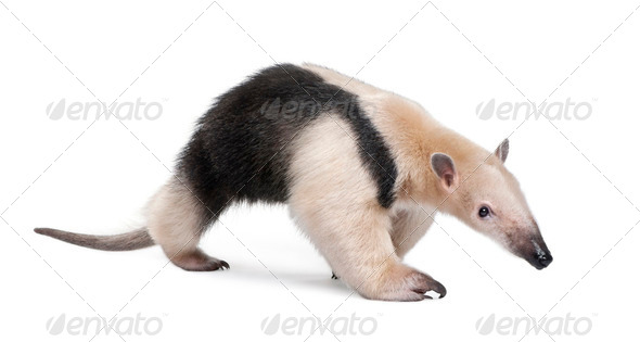 Collared Anteater - Tamandua tetradactyla - Stock Photo - Images